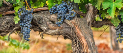 koehler_winery_vines_and_fruit_crop