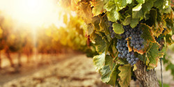 Vineyards_Heading_1