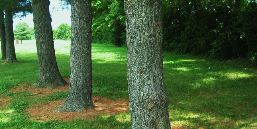 Lykins Trees.JPG