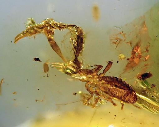 Pseudoscorpion in Amber