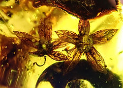Inclusion in Amber