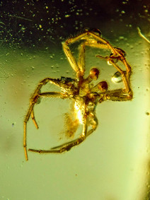 Jumping  Spider in Amber