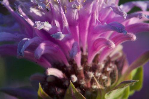 Bergamot (Bee Balm) - Monarda fistulosa