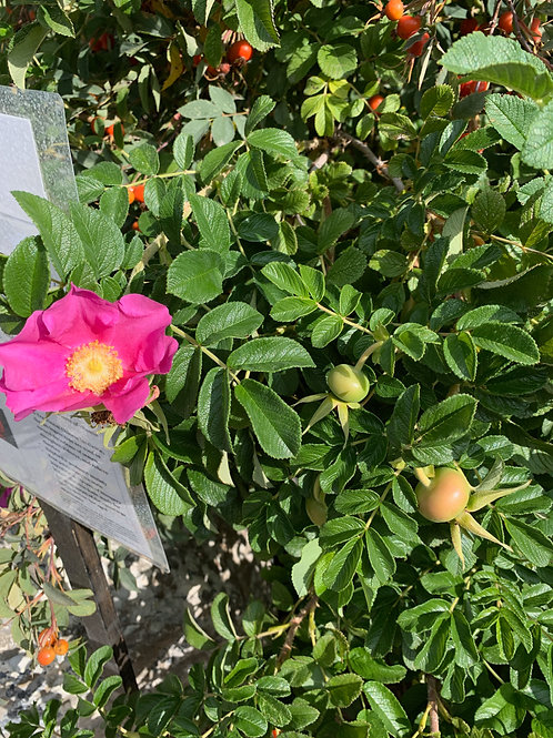 Rosehips - Rosa rugosa