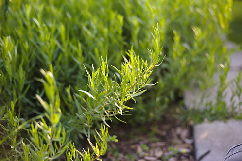 Tarragon, French - Artemisia dracunculus