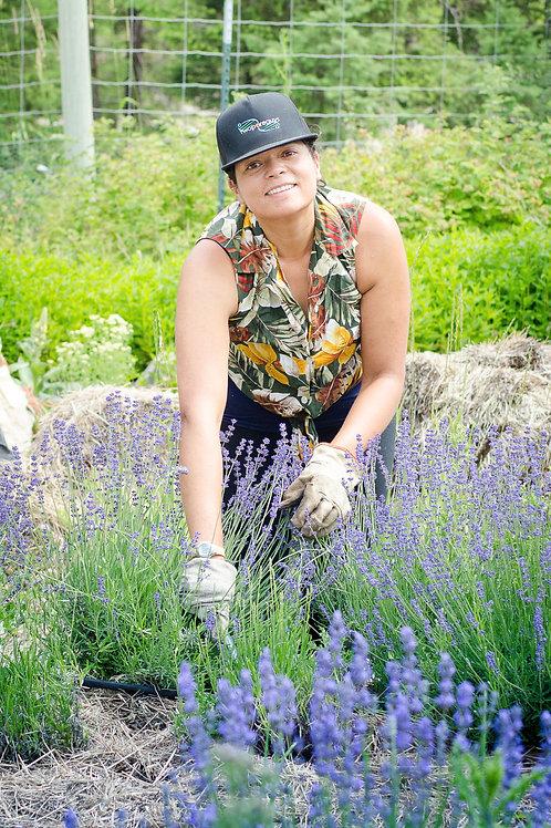 Lavender, Two Season - Lavandula angustifolia 'Two Season'