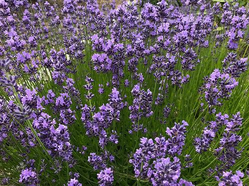 Lavender, New Zealand Blue - Lavandula angustifolia 'New Zealand Blue'