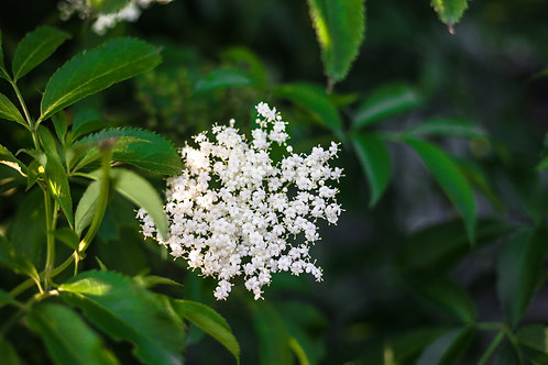 Elder flower, Black - Sambucus nigra, candensis, and ebulus