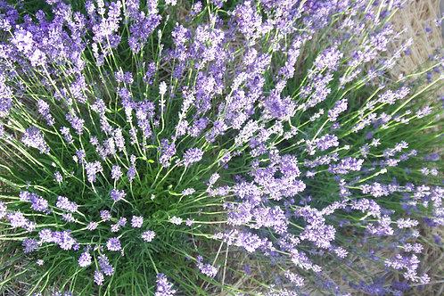 Lavender, Edgerton Blue - Lavandula angustifolia 'Edgerton Blue'