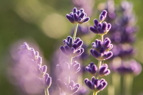 Lavender, Royal Velvet - Lavandula angustifolia 'Royal Velvet'