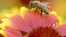 Introduction to Honey Bees