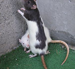 43 Two_Rats.JPG