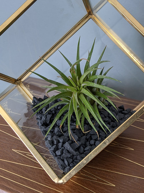 Single Air Plant Terrarium- Small geometric terrarium