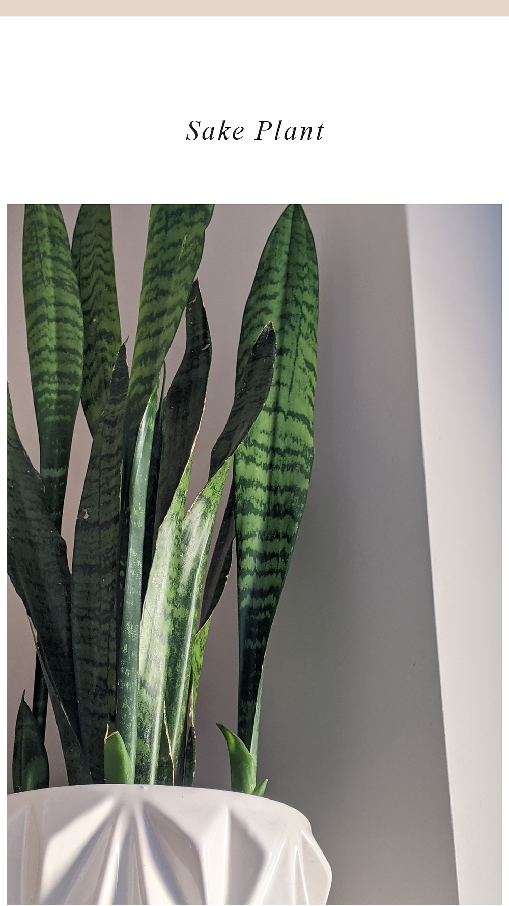 Snake plant in pot, amazing for killing toxins in the air in your home.
