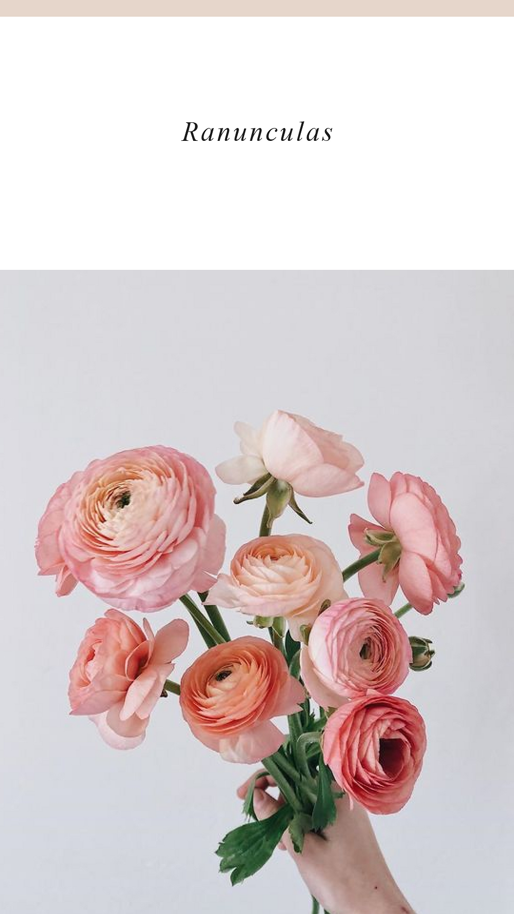 pink lovely ranunculus for valentines day