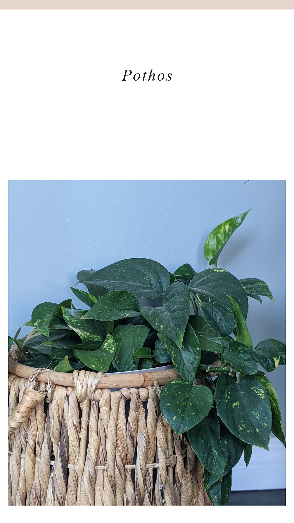 Growing Healthy Pothos plant that has been propagated.
