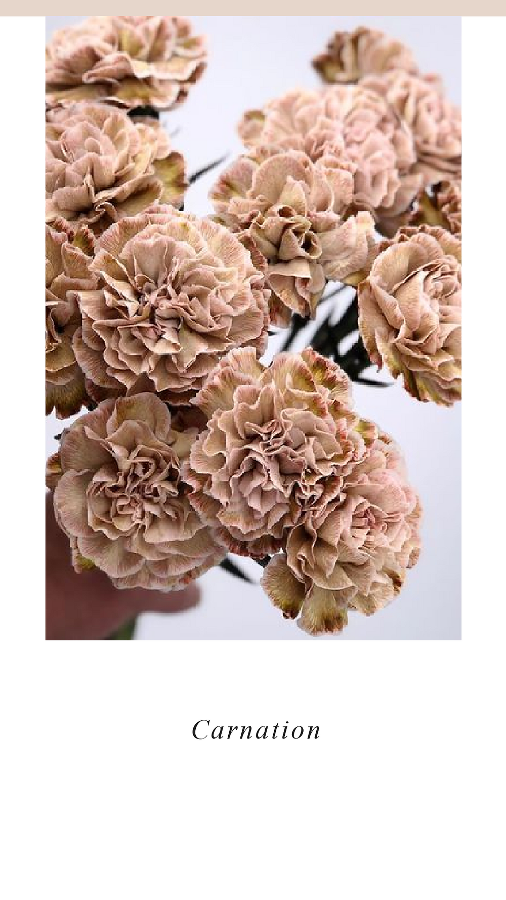 Dusty Rose Carnations are so perfect for valentines day