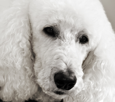 White-Standard-Poodle