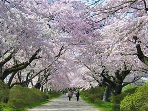 REANUDAN PLANTACIÓN DE CEREZOS A CIUDAD JAPONESA AFECTADA POR EL TSUNAMI EN 2011