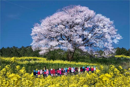 桜と子供.jpg