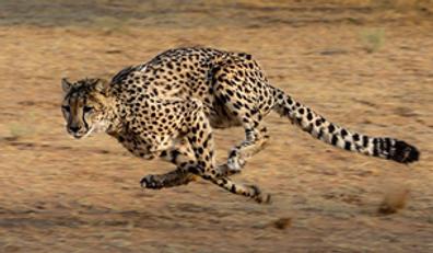 Gepard.png