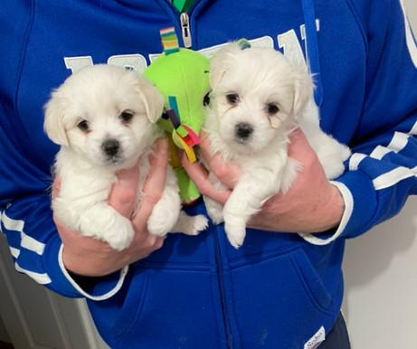 maltese x cavalier puppies for sale