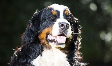 Bernese-Mountain-Dog-Oscar-literacy-driv