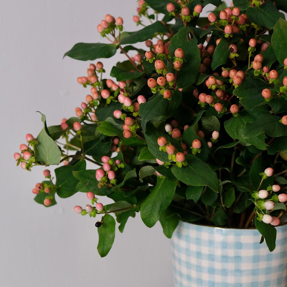 Hypericum Johanniskraut Beeren Blumenpost Blumen Saisonkalender