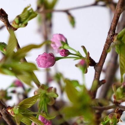 japanische kirschblüte monobouquet bestellen verschicken online lieferung schweiz zürich luzern zug winterthur