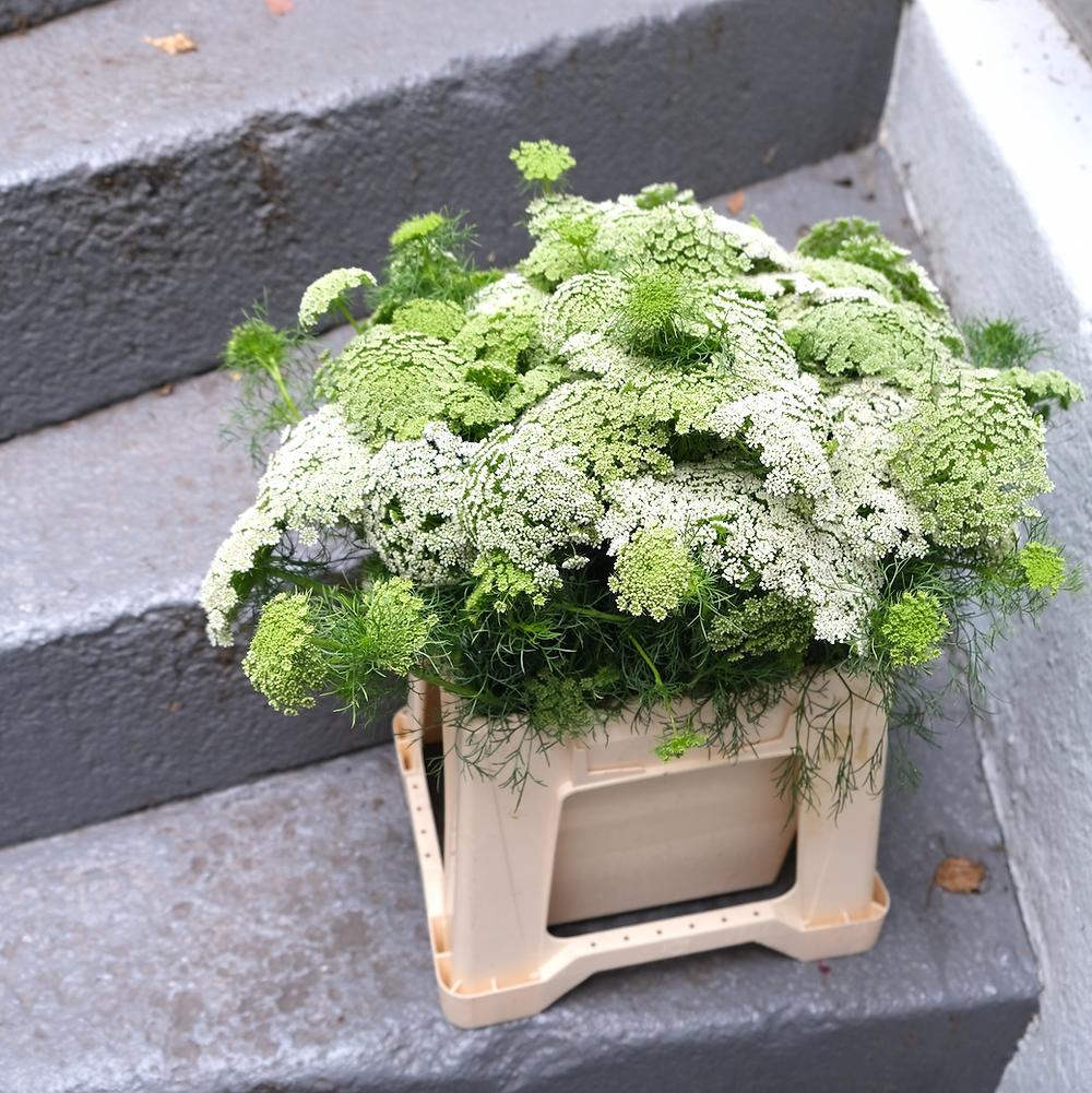Ammi Knorpelmöhre Grün Blumenpost Blumen Saisonkalender