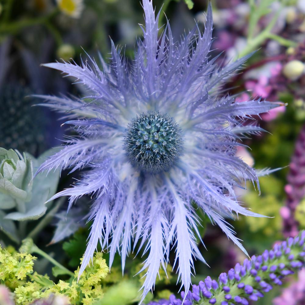 Blaudisteln, Blaue Distel, Blumenpost, Schweiz