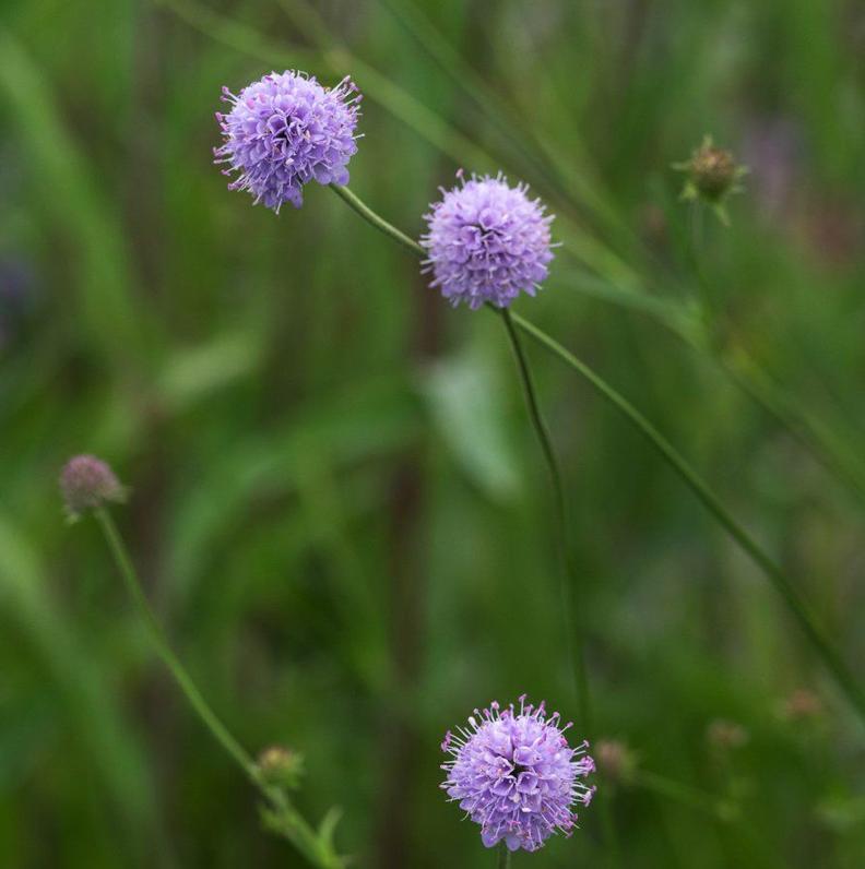 Succisella Blumenpost Blumen Saisonkalender