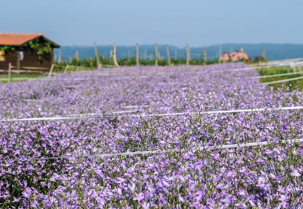 Blumen Feld Blumenfeld in der Schweiz frische Blumen Blumenpost