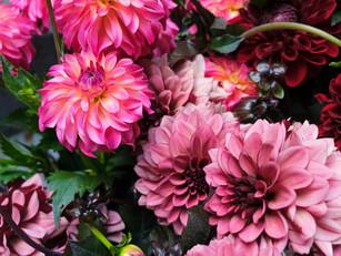 Die Dahlie - eine Blume im Portrait