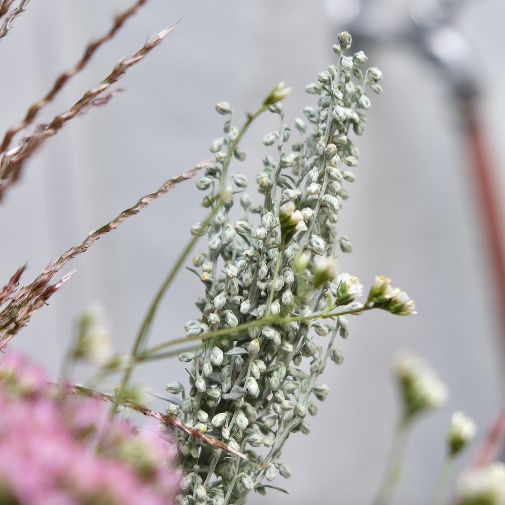 Arthemisia Silberkraut Blumenpost Blumen Saisonkalender