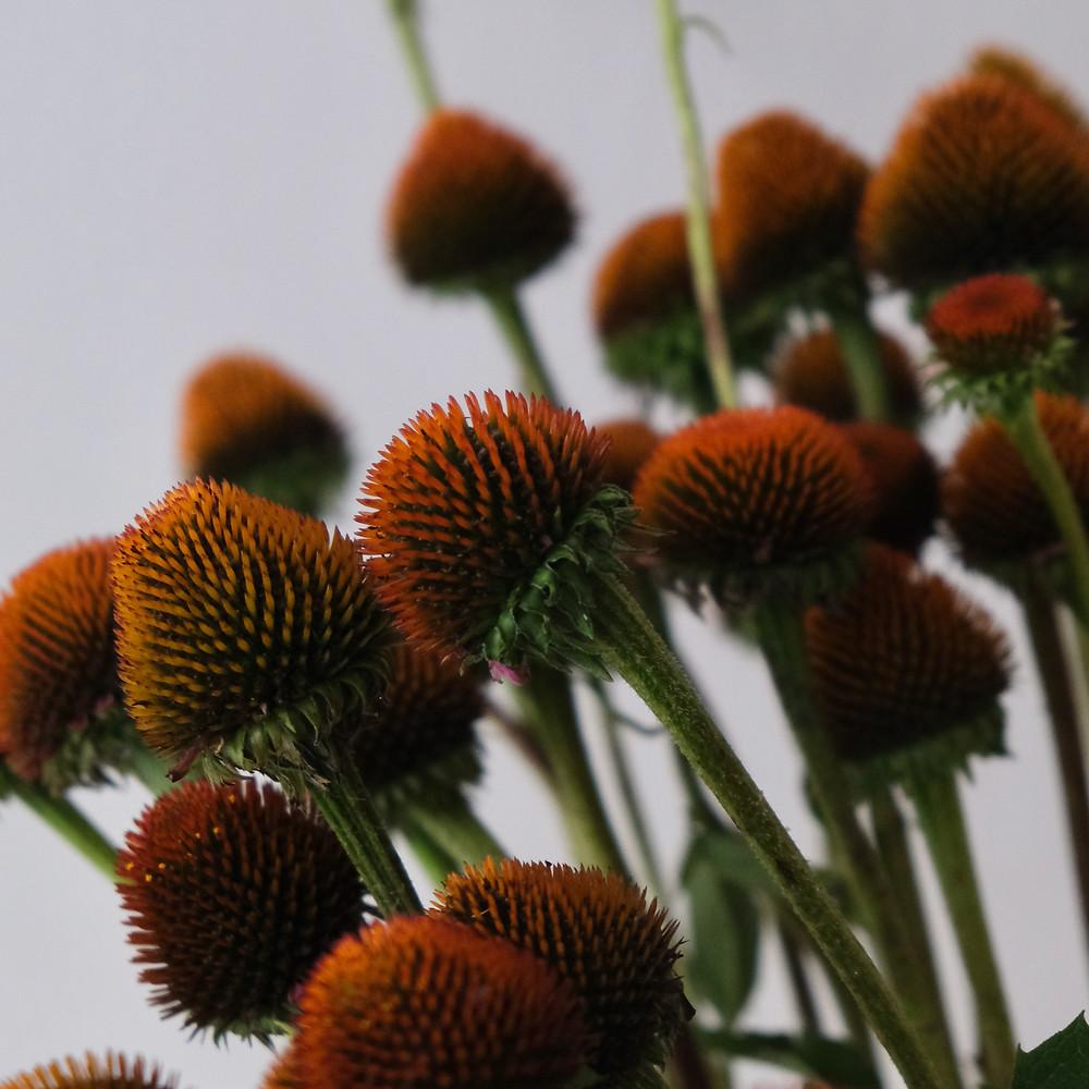 Sonnenhut, Echinacea Blumenpost, Schweizer Blumen, Blumenstrauss, Blumen bestellen, online, Lieferung