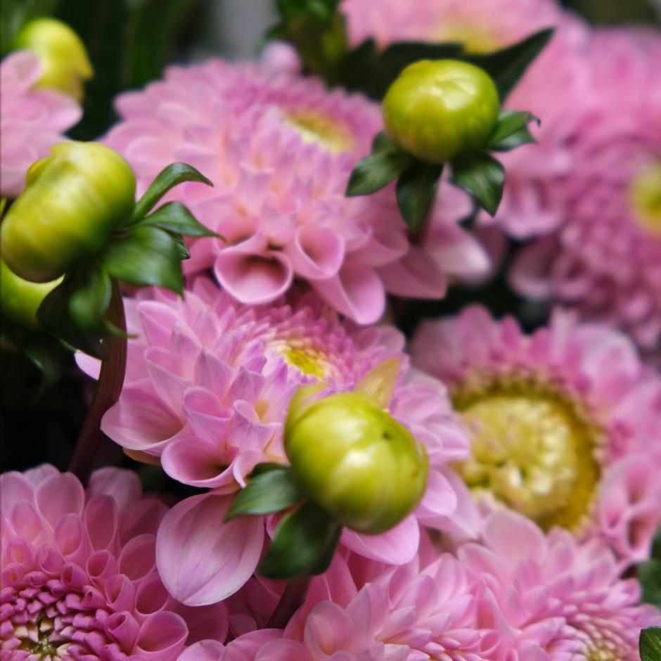 Dahlien Dahlie Blumenpost Blumen Saisonkalender