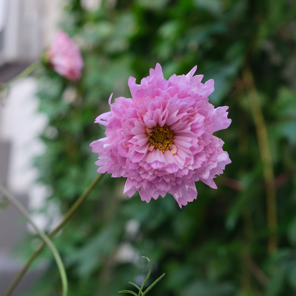 Cosmea Blumenpost Blumen Saisonkalender