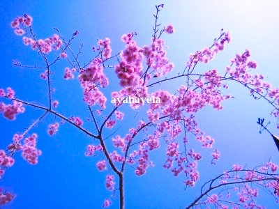 季節のアロマ 春の桜