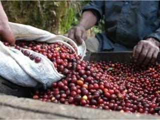 Atenção Cooperado: Desconto entrega de cafés Syngenta - Cocatrel