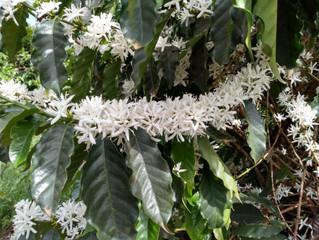 Grande número de floradas pode influenciar na qualidade do café