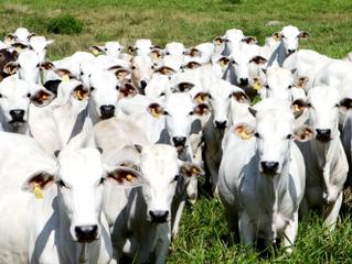 Assistência veterinária da Cocatrel oferece inseminação artificial para bovinos