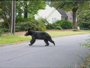 Bear Loose in the Suburbs