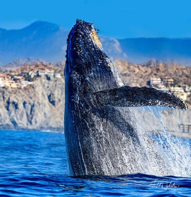 Cabo_Whale_RAD_190214_1247-copy.jpg