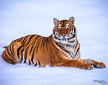 Siberian Tiger 002
