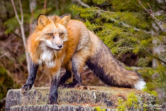 Fox_RADykstra_1200_20170408-0001.jpg