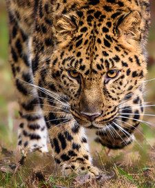 AMUR_Leopard_RAD_0268-2.jpg