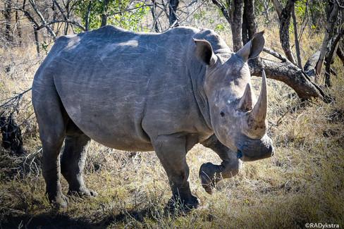 Rhino_RADykstra-2013-0001-5.jpg