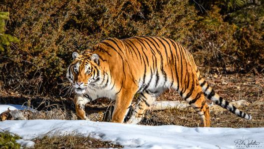 20190322_Tiger_RAD_1515.jpg