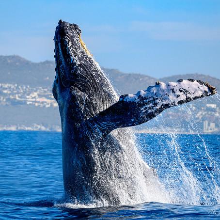 Cabo San Lucas Whales - Feb 2019